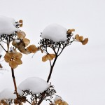 20090212110157_003 snowflower-1 jan2009 (pixelpost)
