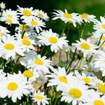 Summerflowers (Summerflowers)